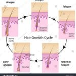 stock-vector-hair-growth-cycle-125899355