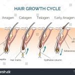 stock-vector-hair-human-growth-cycle-science-biological-phases-vector-illustration-401924713
